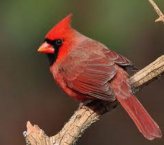 cardinal 334