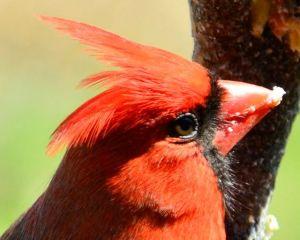male cardinal close up
